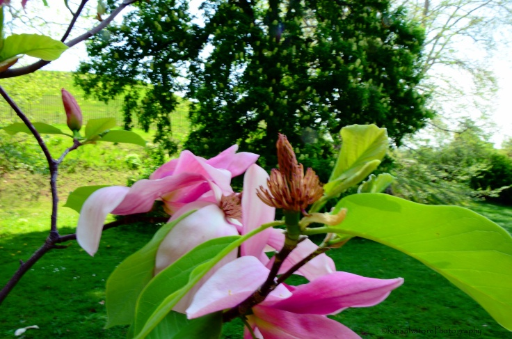 lovely magnolias